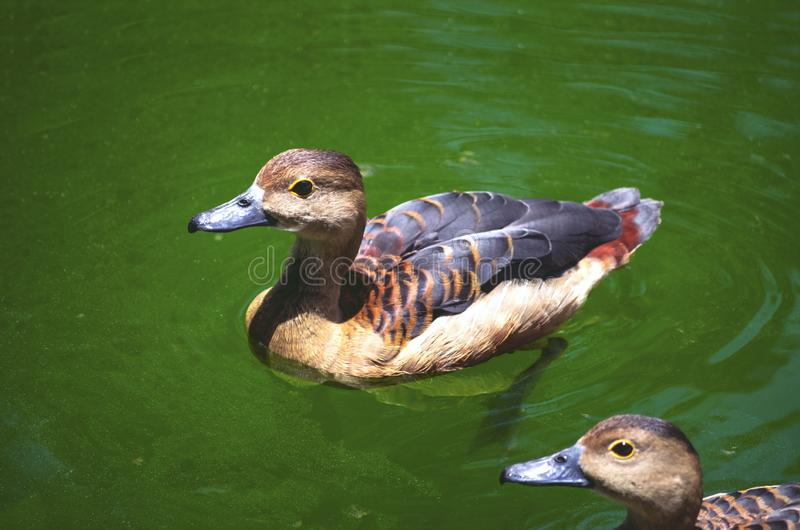 两只野鸭在池塘的鸭子游泳用绿色水,当看上部时 库存照片