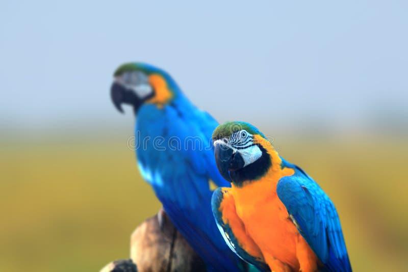 两只金刚鹦鹉鸟接近射击 免版税图库摄影
