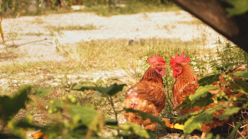 两只雄鸡在有草和草本的后院庭院里 库存图片