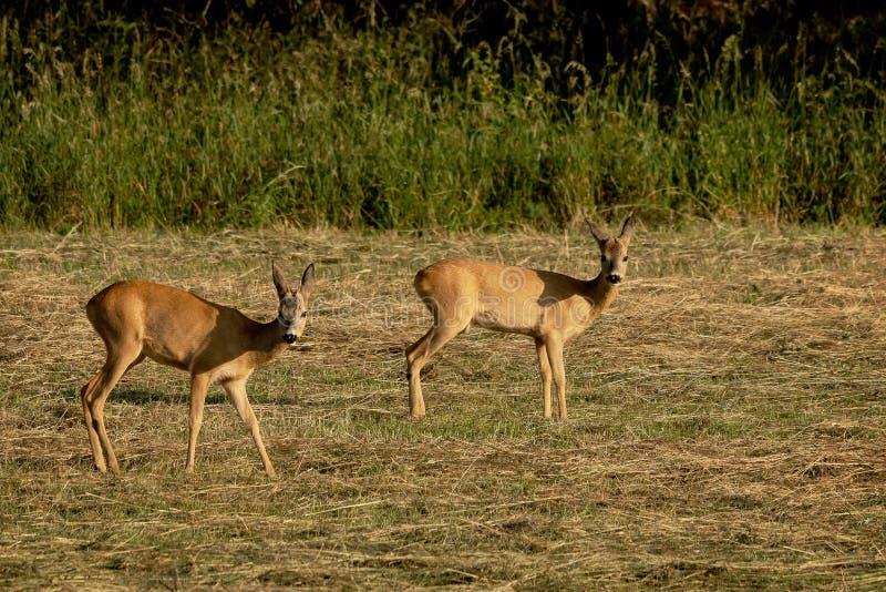 两只雄鹿 库存照片