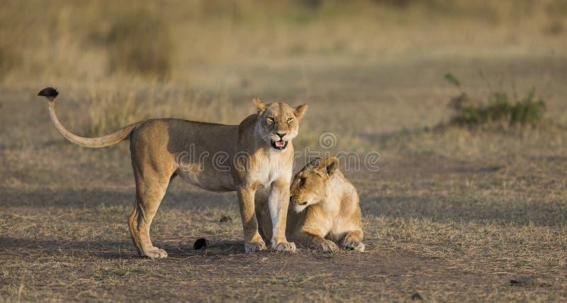 两只雌狮互相爱抚 国家公园 肯尼亚 坦桑尼亚 mara马塞语 serengeti 免版税库存图片
