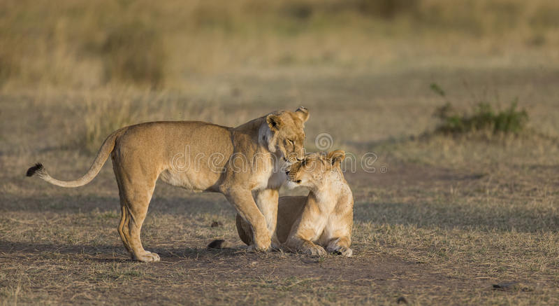 两只雌狮互相爱抚 国家公园 肯尼亚 坦桑尼亚 mara马塞语 serengeti 免版税库存照片