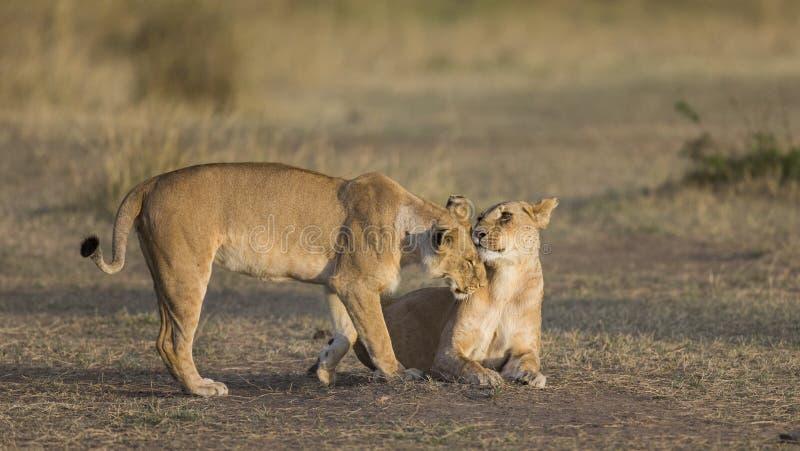 两只雌狮互相爱抚 国家公园 肯尼亚 坦桑尼亚 mara马塞语 serengeti 免版税图库摄影