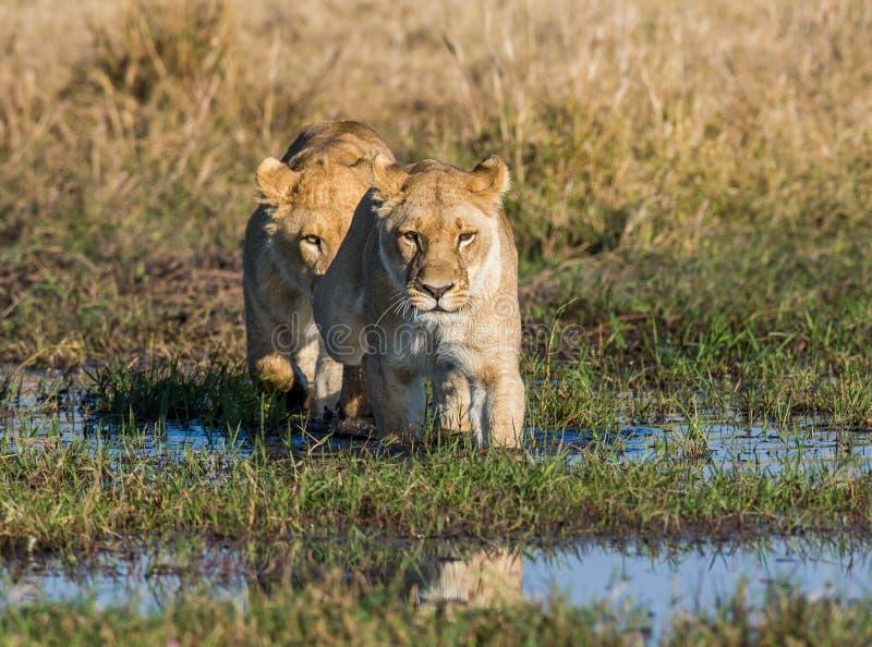两只雌狮通过在浅滩的沼泽 Okavango Delta 免版税库存图片
