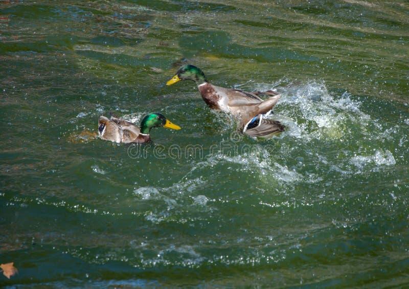 两只鸭子争论在水中 免版税库存照片