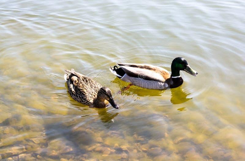 两只鸭子在池塘游泳 库存图片