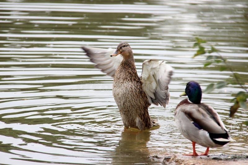 两只鸭子在湖 免版税图库摄影
