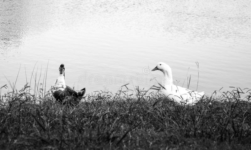 两只鸭子黑白照片在湖旁边的 免版税图库摄影