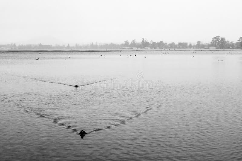两只鸭子黑白风景  免版税图库摄影