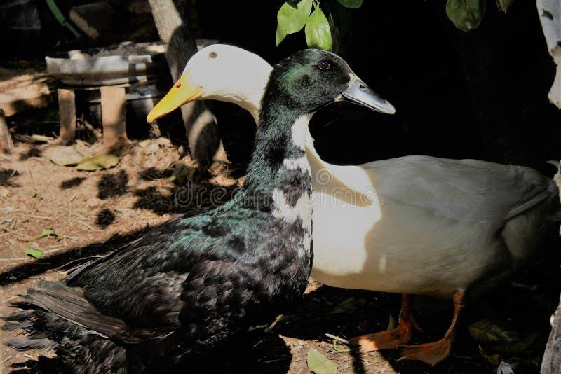 两只鸭子,黑白 免版税库存照片