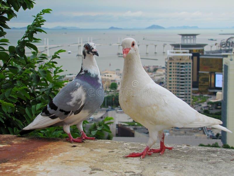 两只鸽子在澳门 库存照片