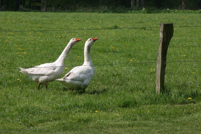 两只鹅在草甸 免版税库存图片