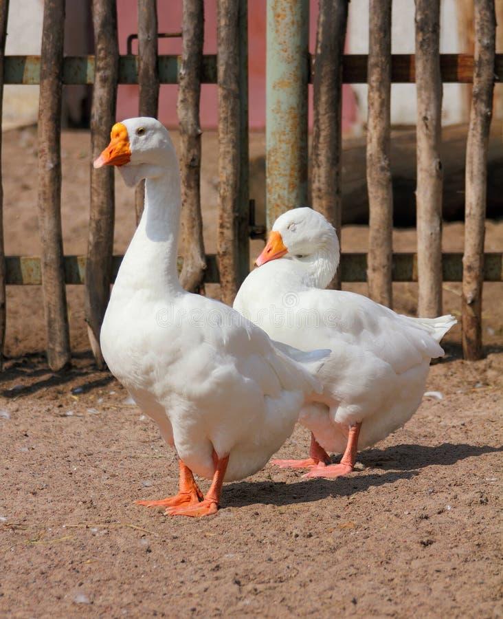 两只鹅 免版税库存照片