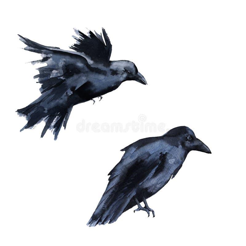 两只黑乌鸦 背景查出的白色 库存例证