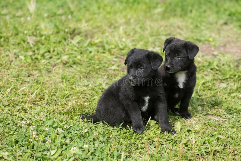 两只黑护羊狗小狗坐草 库存图片