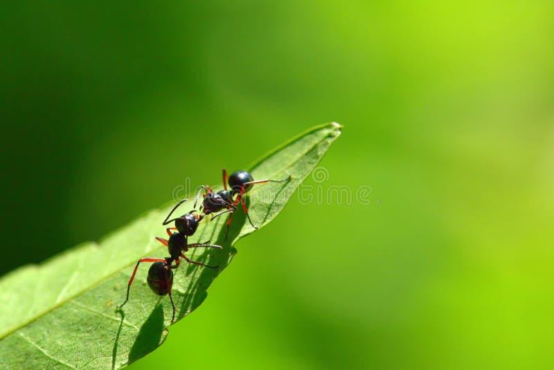 两只黑蚂蚁在叶子战斗有美好的绿色背景 库存照片