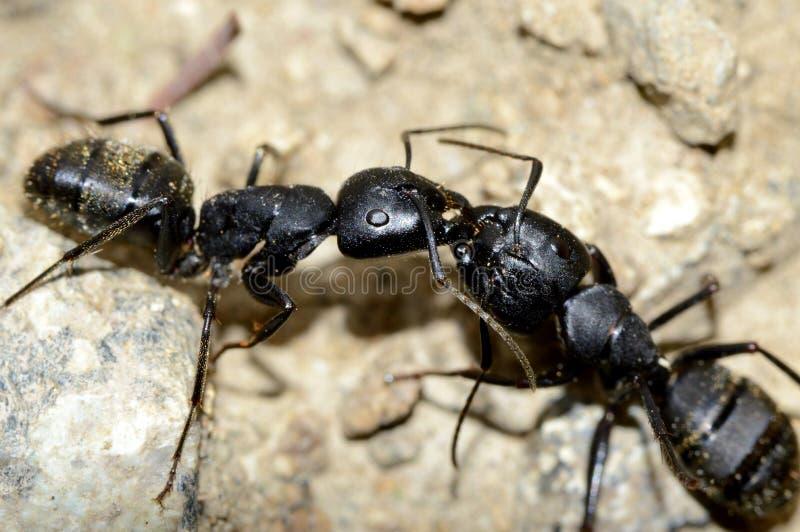 两只黑蚂蚁战斗 库存图片