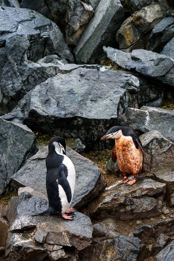 两只Chinstrap企鹅,一泥泞和一干净,跳跃在崩落的岩石的企鹅高速公路下,半月岛,南极洲 免版税库存照片