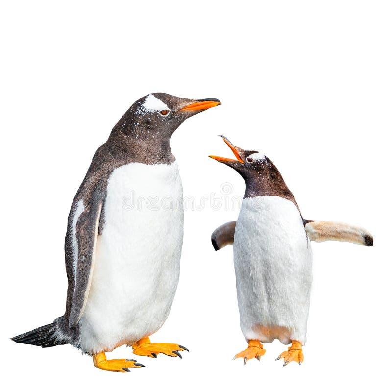 两只Gentoo企鹅争论被隔绝在黑背景,巴塔哥尼亚的比格尔海峡在乌斯怀亚,阿根廷,特写镜头,细节附近 免版税库存图片