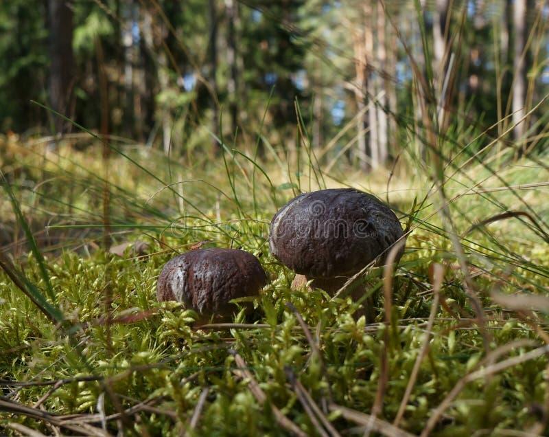 两可食小的牛肝菌蕈类,可食的蘑菇 库存图片