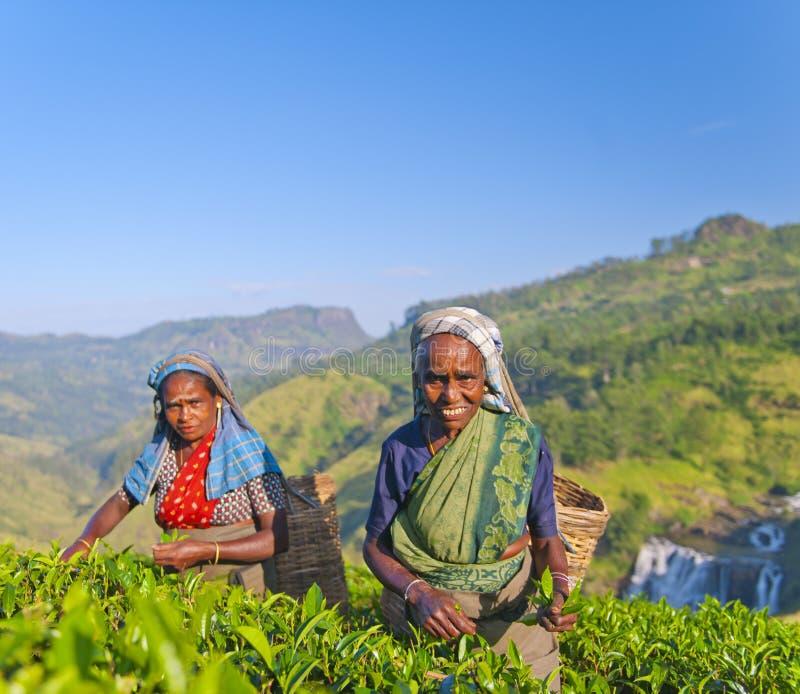 两台茶捡取器微笑,他们采摘叶子 库存照片