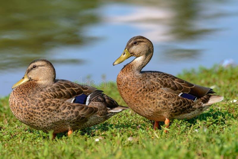 两呈杂色的鸭子 图库摄影