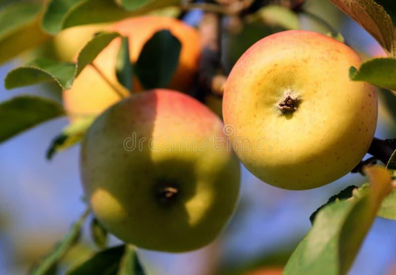 两在前景和一些在背景黄色有斑点的苹果 免版税库存照片
