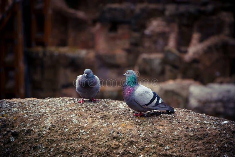 两在大剧场的废墟的逗人喜爱的野生鸽子 免版税库存图片