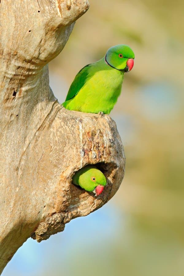 两在巢孔的鸟 筑巢罗斯圈状的长尾小鹦鹉, Psittacula krameri,美丽的鹦鹉在自然绿色森林栖所, Sri 库存照片