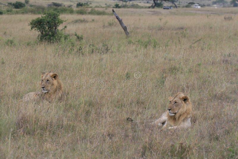 两在干草的公狮子休息在马塞语玛拉,肯尼亚 免版税库存图片