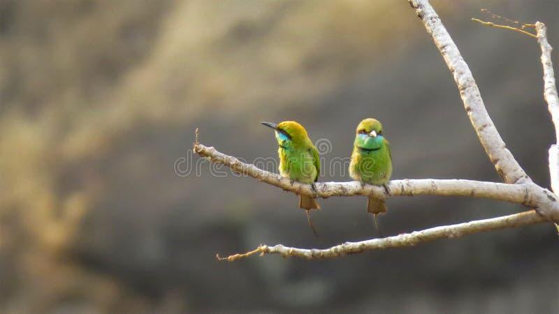 两在树分支的绿色食蜂鸟鸟  免版税库存图片