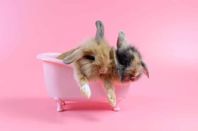 两在桃红色浴缸的棕色蓬松兔子在桃红色背景 图库摄影