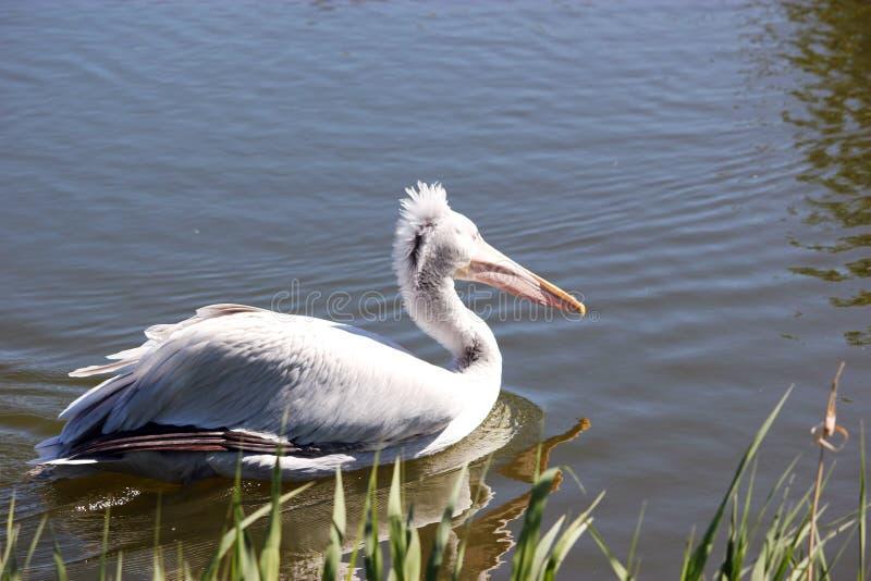 两在水的白色鹈鹕 免版税图库摄影