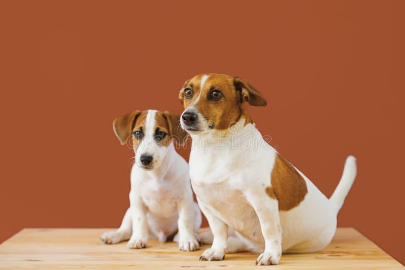 两在演播室射击的逗人喜爱的起重器罗素狗狗 库存图片