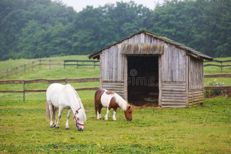 两在牧场地的小马 库存照片