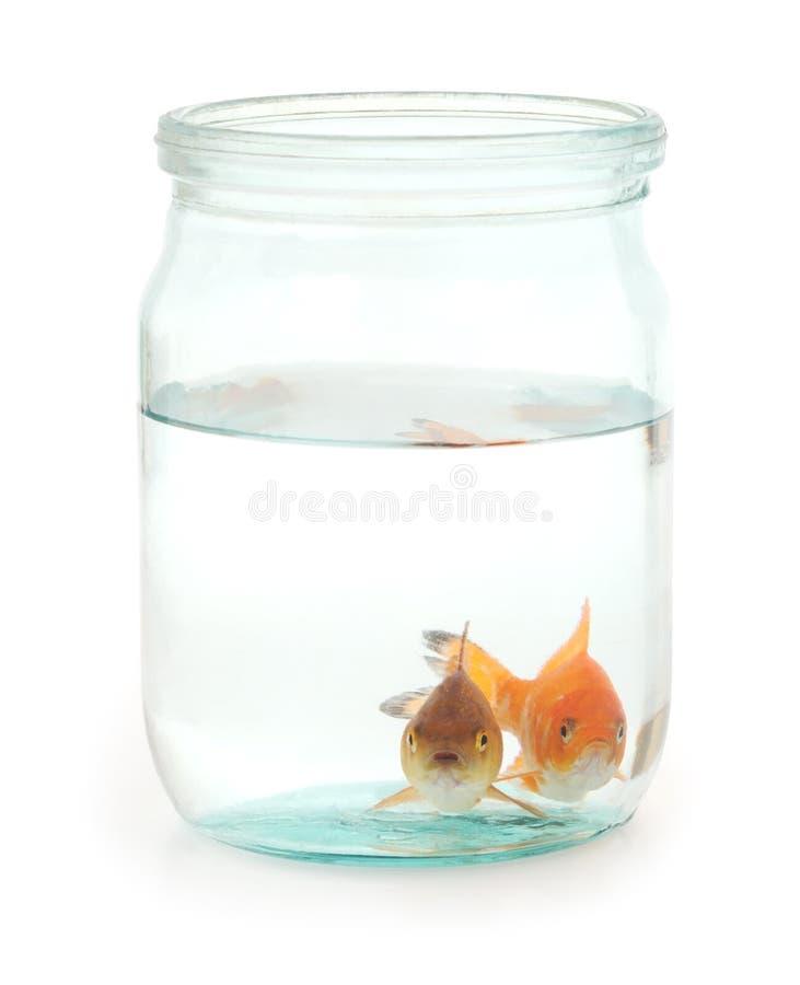 两在瓶子的金鱼 免版税库存照片