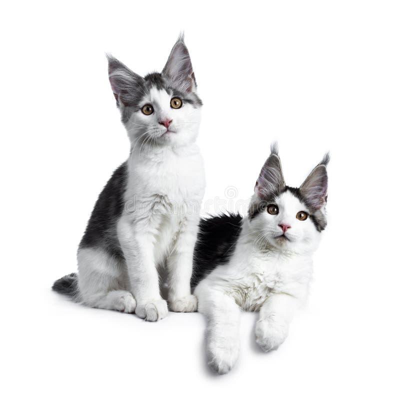 两在白色的蓝色平纹高白色丑角缅因树狸猫 免版税库存照片