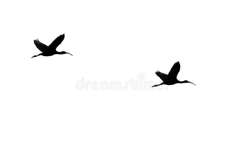 两在白色背景现出轮廓的面无血色的朱鹭 图库摄影