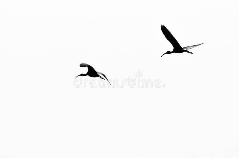 两在白色背景现出轮廓的面无血色的朱鹭 库存图片