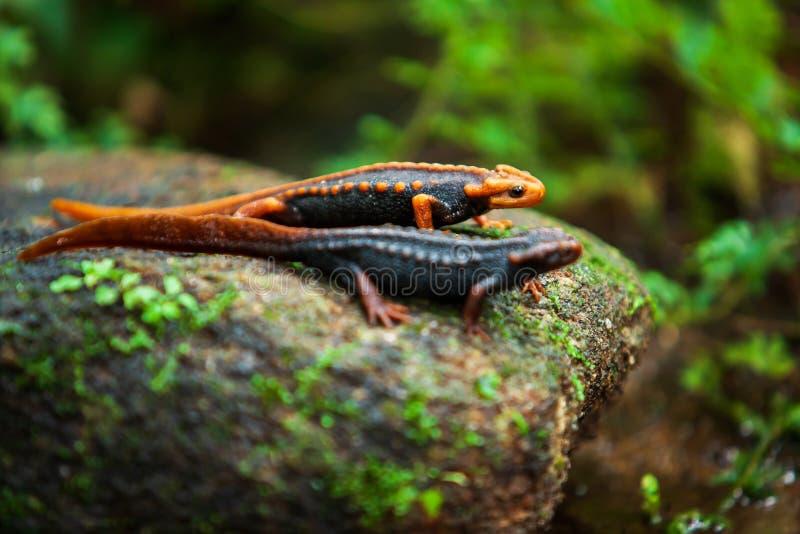 两在石头的喜马拉雅蝾螈在原始热带森林里 免版税库存图片
