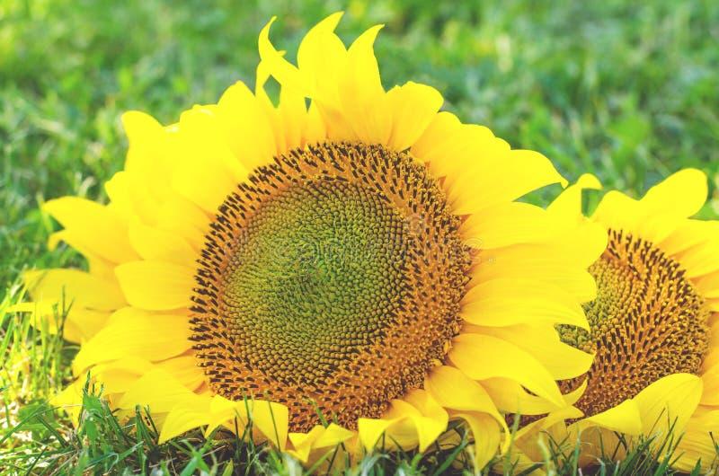 两在绿色草坪的大向日葵有草的 免版税库存图片