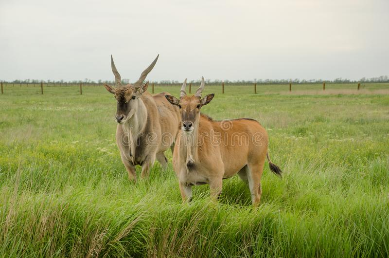 两在绿色领域看看的eland照相机 免版税库存图片