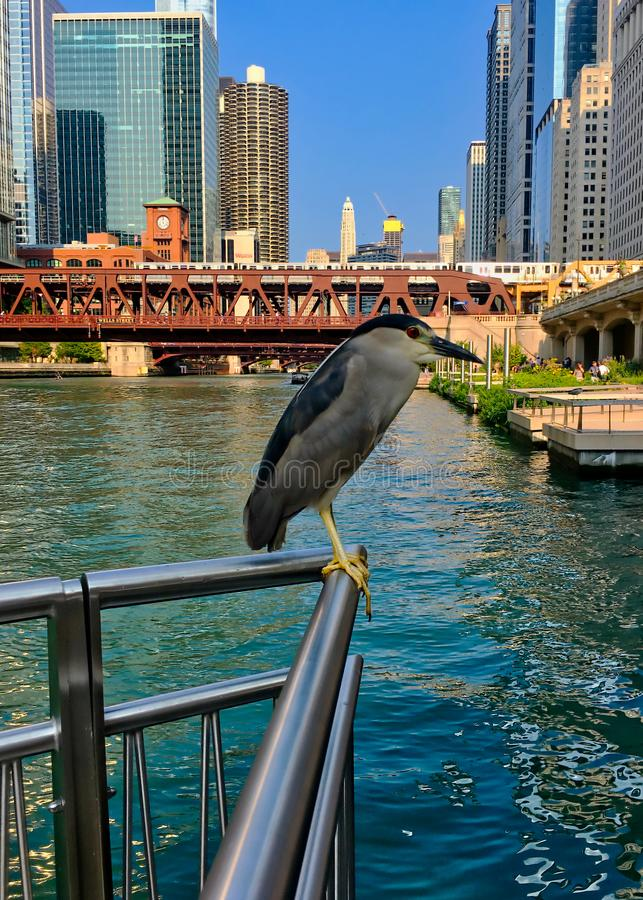 两在背景中黑加冠了夜苍鹭一在右边,一个濒于灭绝的物种,访问芝加哥河 免版税库存图片