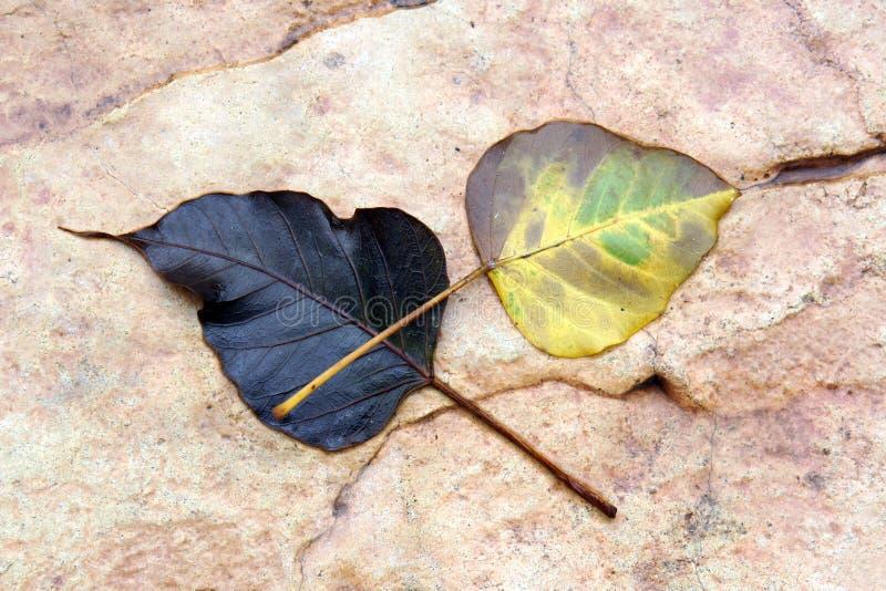 两在花岗岩石头地面纹理背景的腐烂的叶子秋天 免版税库存照片