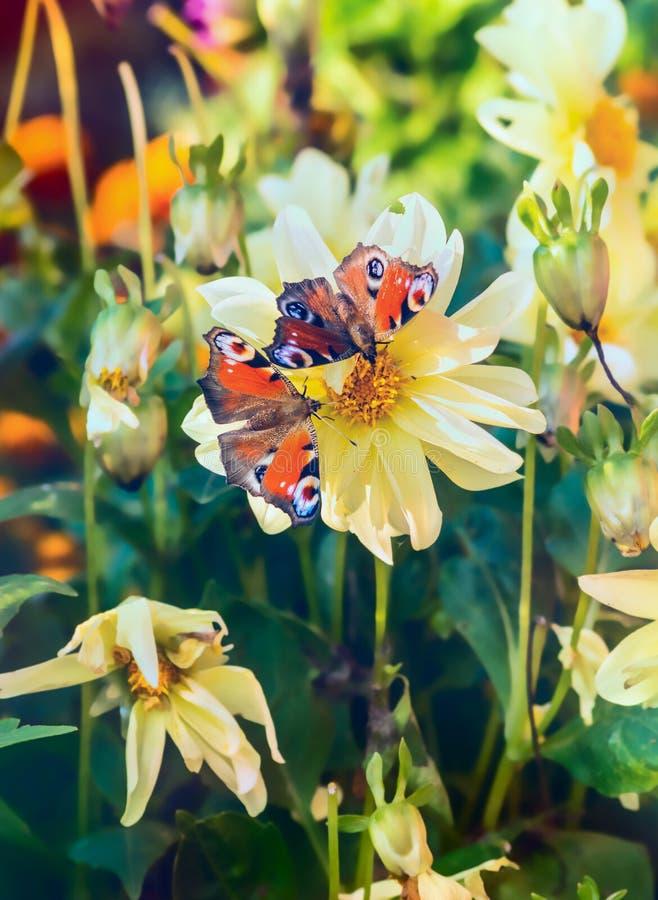 两在花黄色大丽花的蝴蝶在庭院里 免版税库存照片