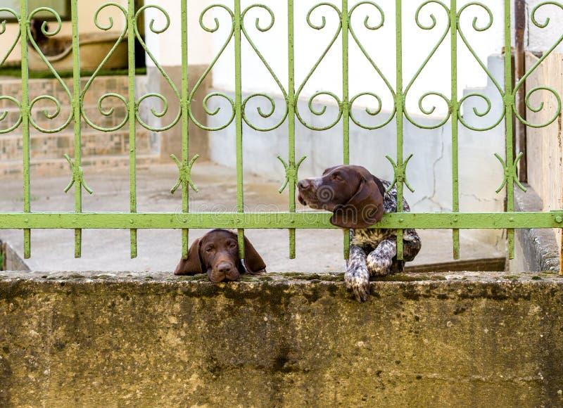 两在金属篱芭后的德国短毛指针 一条狗看起来哀伤 另一个陷进的头通过酒吧,行动迷离 免版税图库摄影
