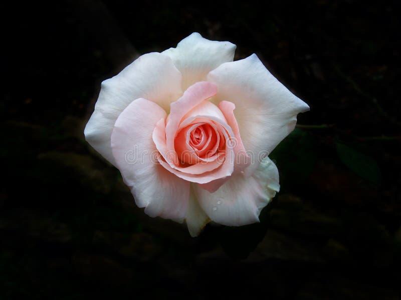 两在黑暗的背景的音色玫瑰 免版税库存图片