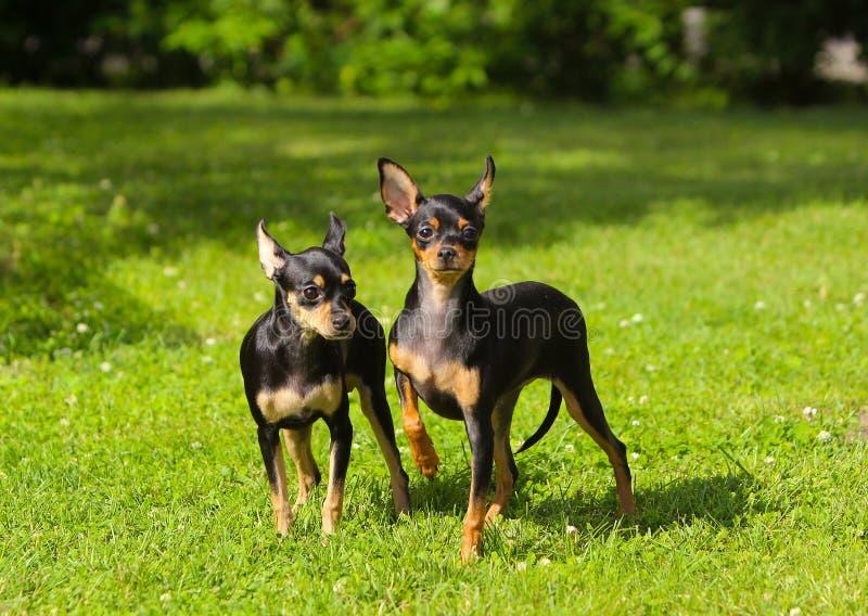 两在绿草的小黑棕褐色小狗立场 库存照片