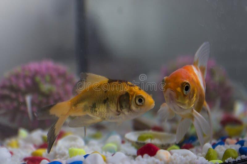 两在fishbowl的金鱼 免版税图库摄影