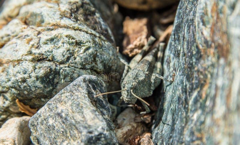 两块岩石间的蚱蜢 库存照片